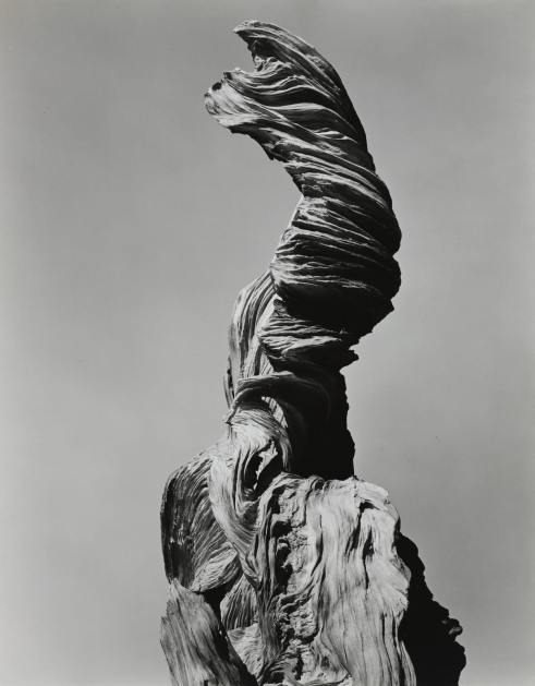 edward weston stump against sky