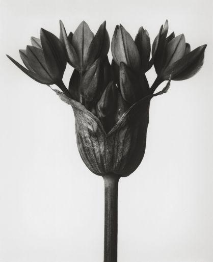 karl blossfeldt 004